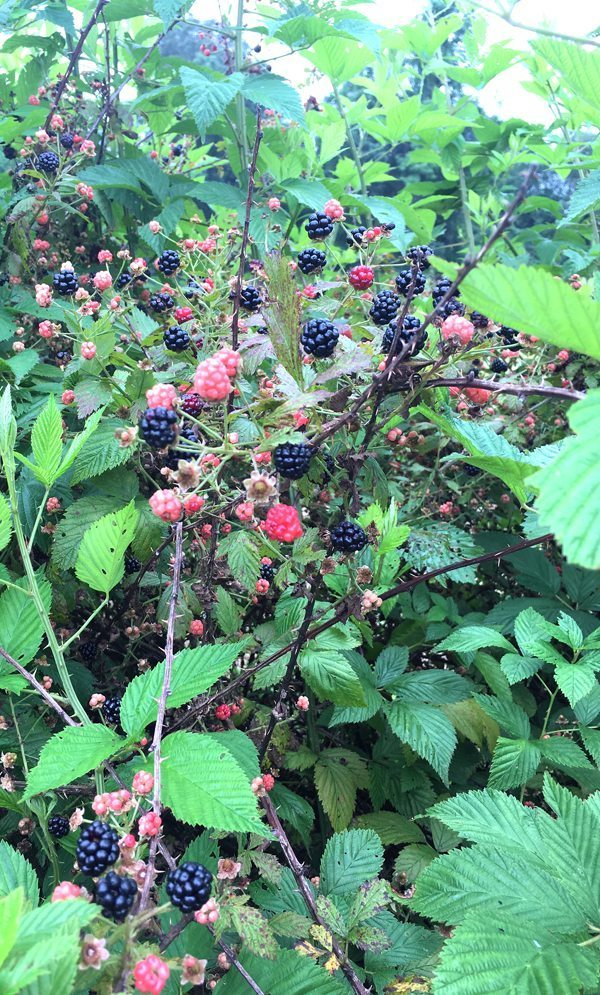 Wild blackberry bushes