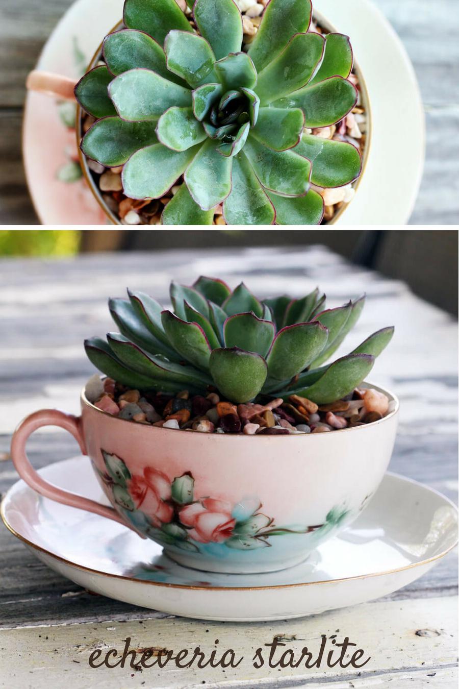 Succulent Planter - Echeveria Starlite