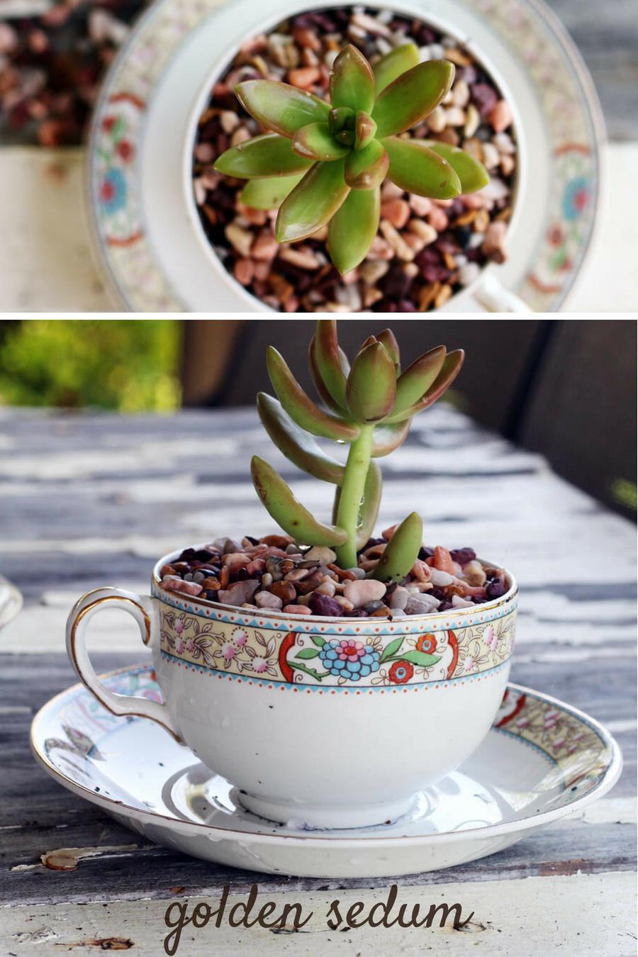 Tea Cup Succulent Planters - Golden Sedum