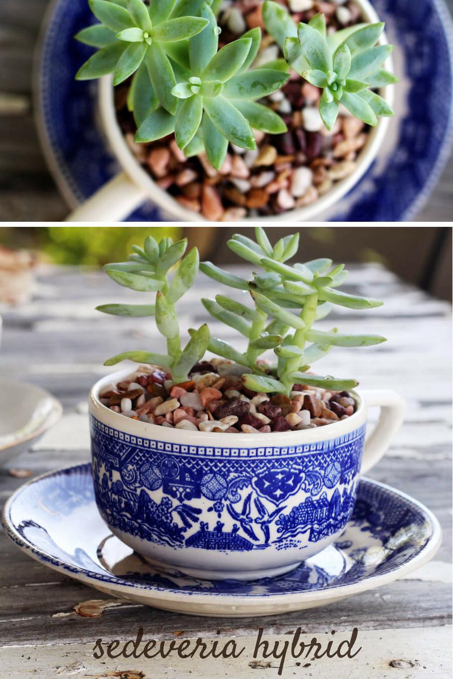 Tea Cup Succulent Planters - Sedeveria Hybrid