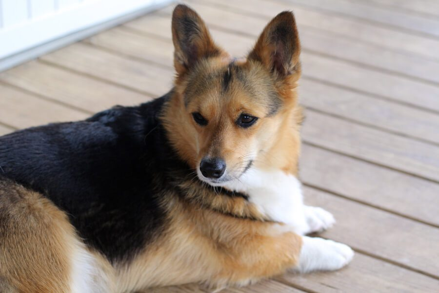 a picture of my Corgi