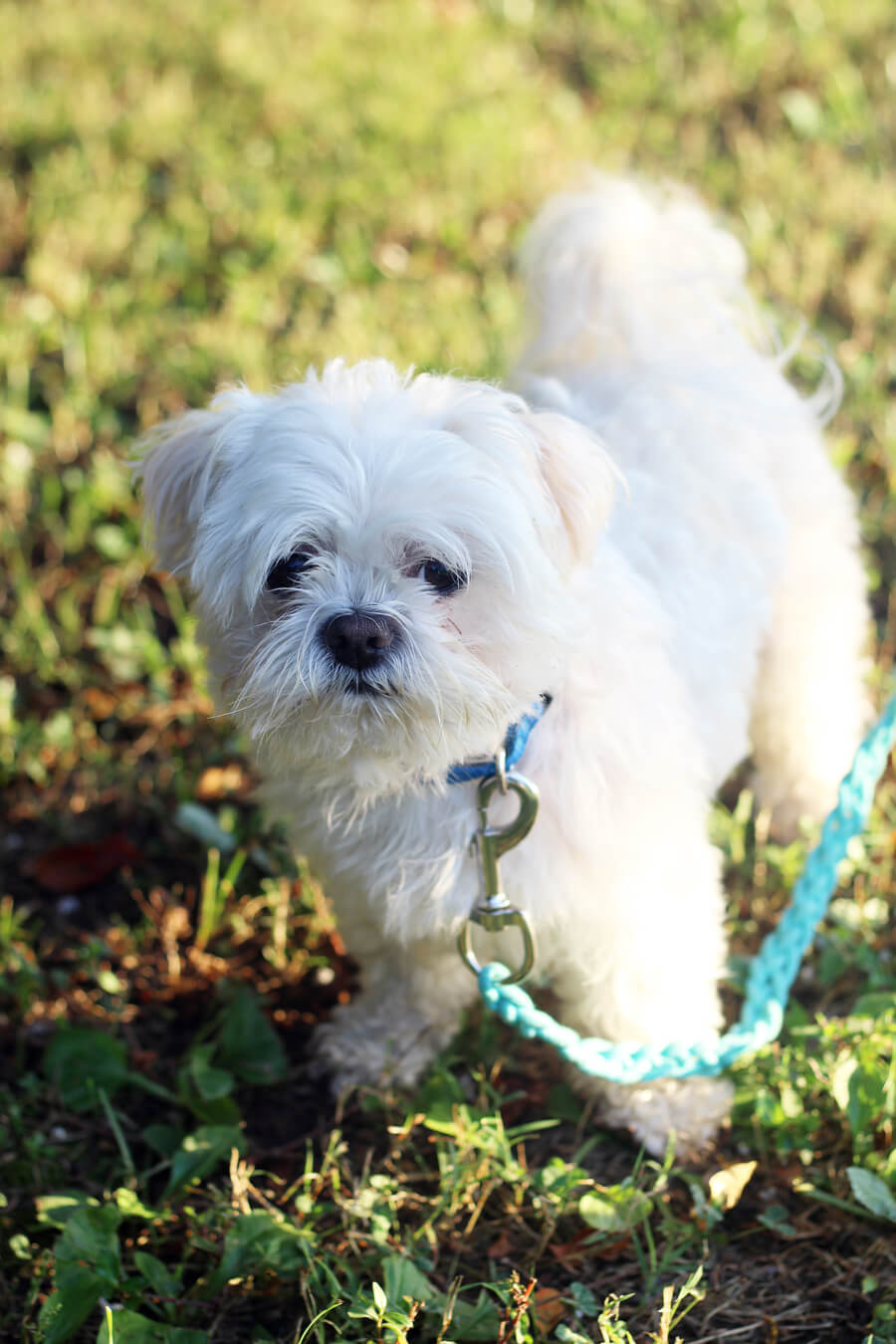 This guy...isn't he the cutest in his custom braided dog leash? Learn how to make one for your fur baby.